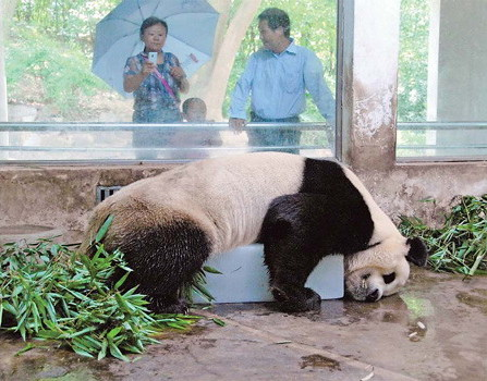 Just for fun. A Giant Panda cools off from the sweltering heat of summer on a block of ice at the Beijing Zoo.